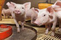Se detectaron tres cerdos silvestres positivos en triquinosis en Bariloche