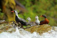 Conocé más sobre el pato de los torrentes
